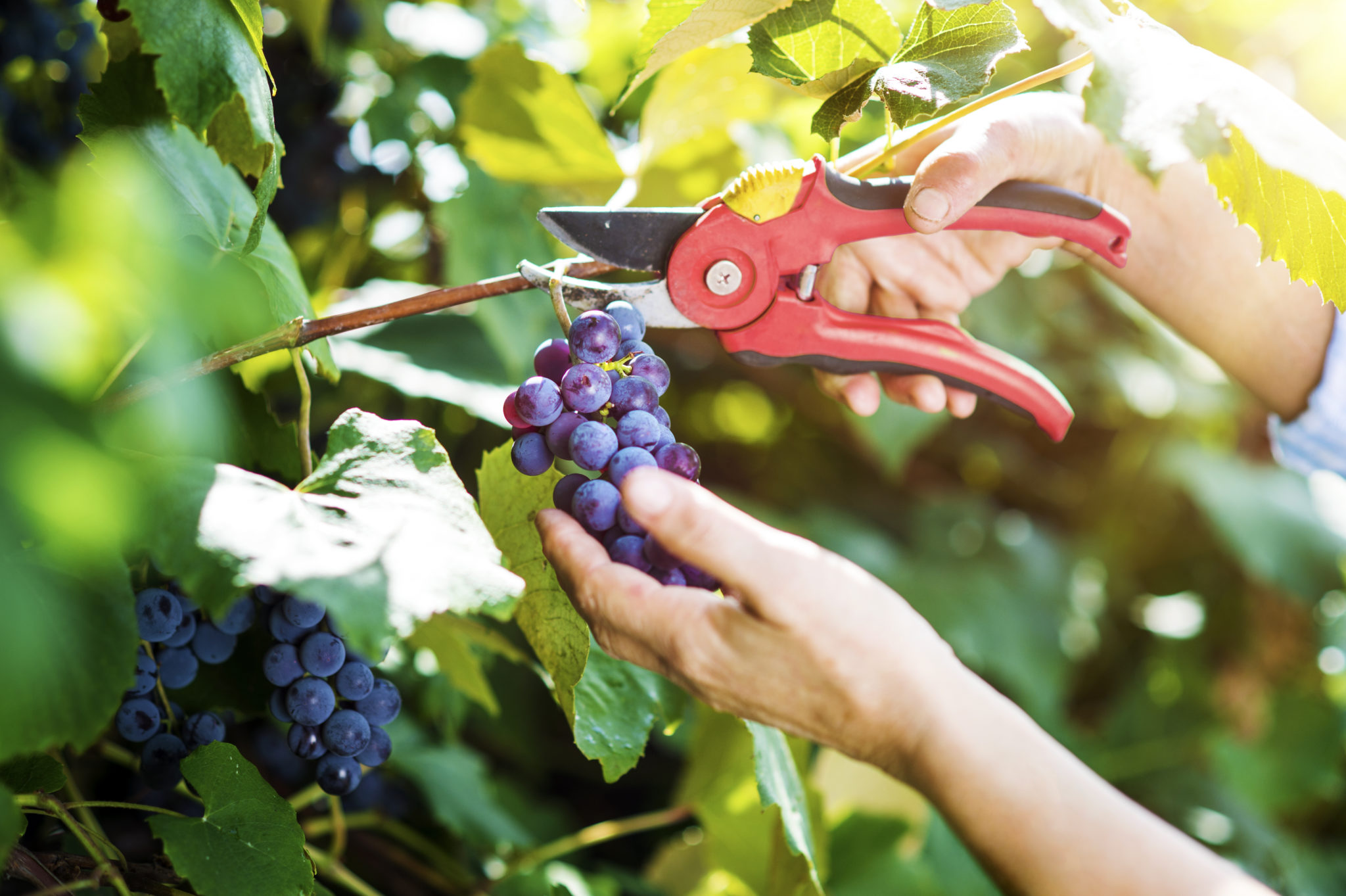 Italian Grapes - Italian traditions